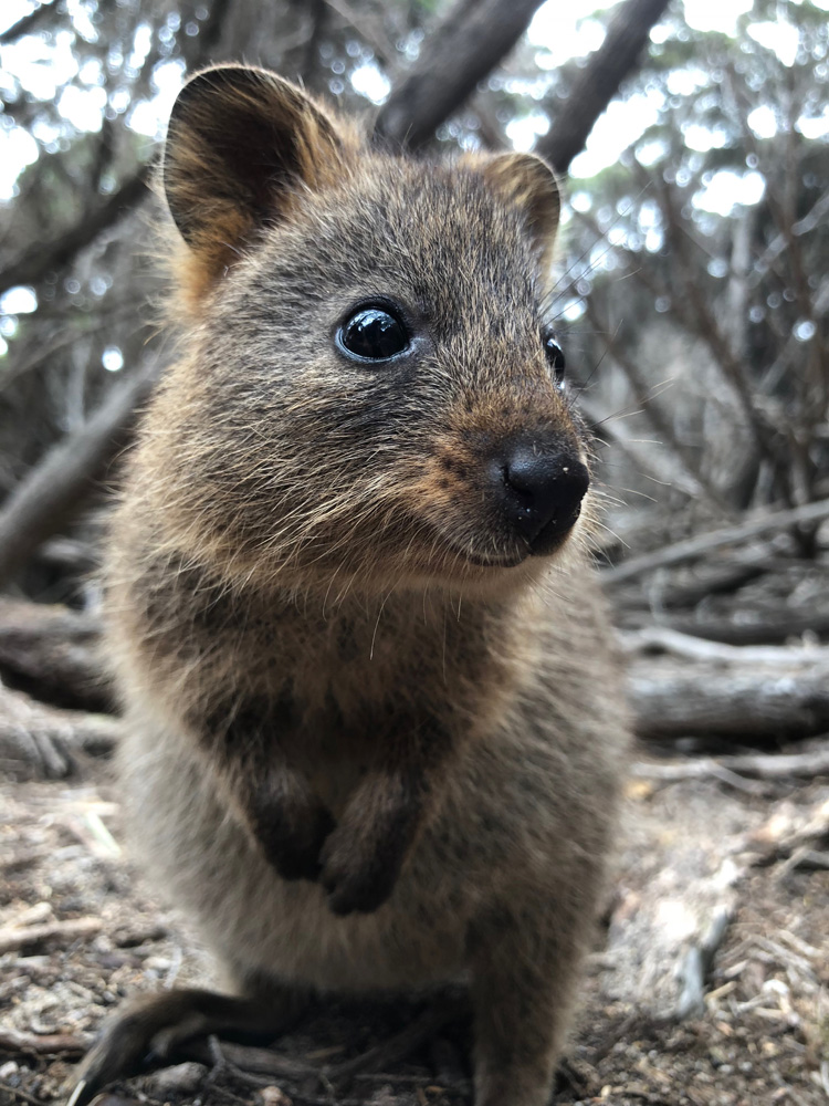 Become Your Best in The West - Perth - Quokka - Rottnest Island